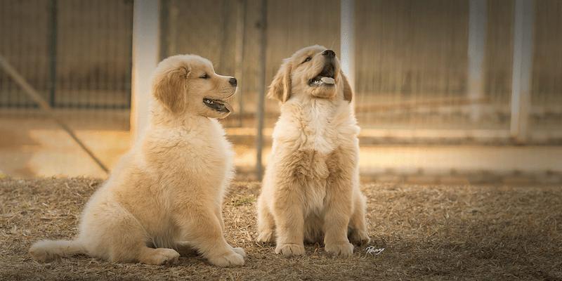 Dois filhotes de Golden Retriever sentados