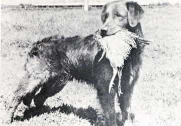 Golden Retriever antigo carregando caça na boca