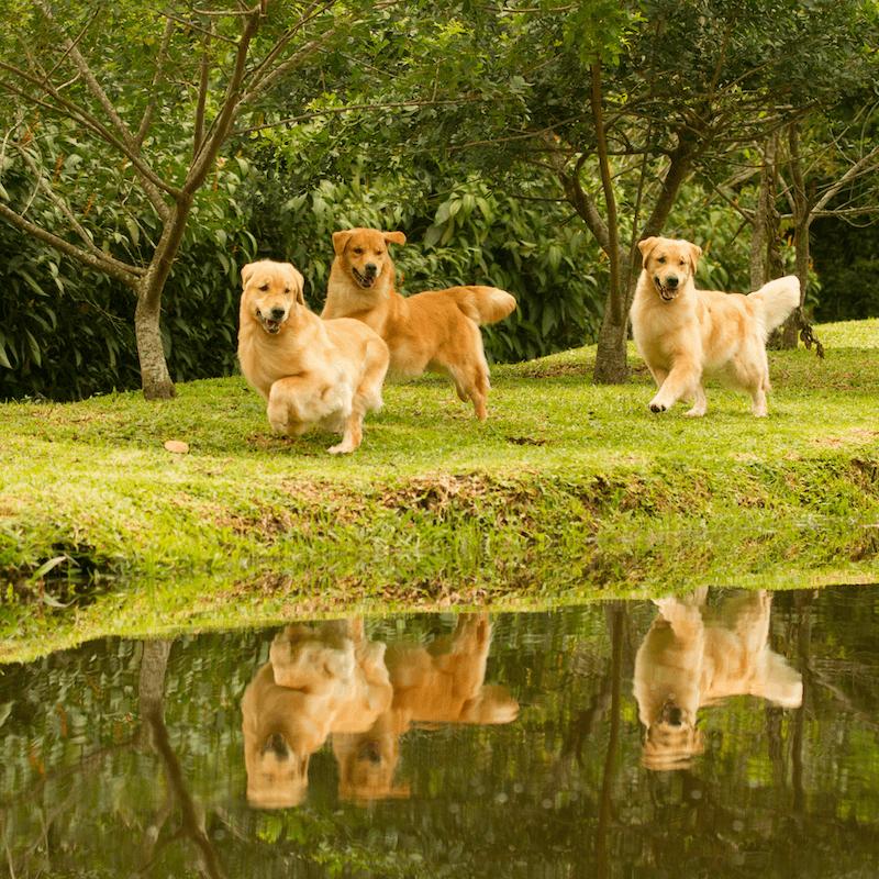 Golden Retrievers caminhando próximo a um lago